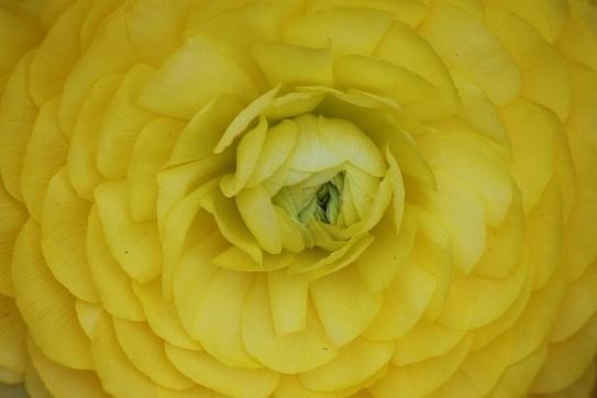 ranunculus-flower-434001_640-rongee